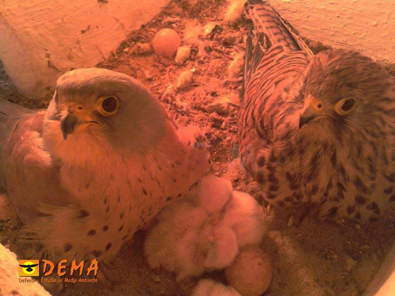 Pareja de cernícalo primilla con pollos recién nacidos
