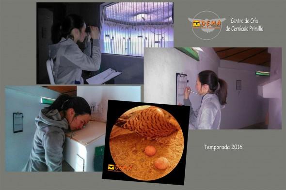 Sara, bióloga responsable del Programa de Cría de Cernícalo Primilla de DEMA observa con prismáticos, desde la sala-espía, la actividad de la colonia para leer anillas e identificar las parejas formadas. Revisa los nidales a través de la mirilla y anota las incidencias en una ficha de seguimiento. Todo el control se realiza sin que los primillas adviertan nuestra presencia, tras cristales-espía desde salas y pasillos perimetrales. De esta manera no alteramos su comportamiento salvaje durante el manejo.
