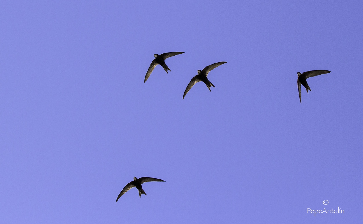 Silueta del vencejo volando en los cielos de Extremadura