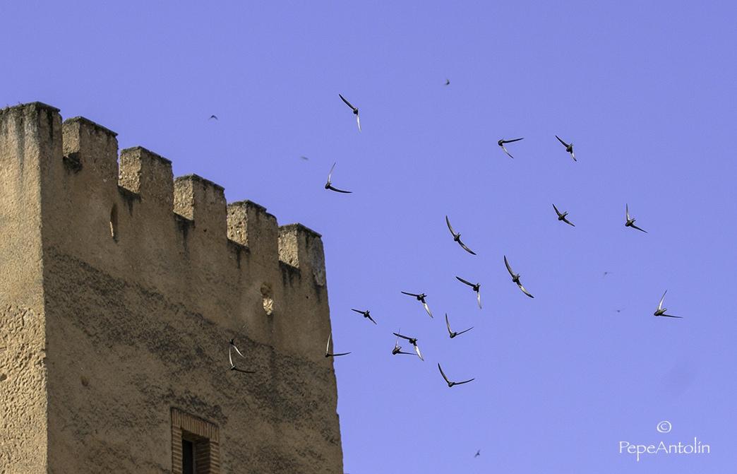 Grupo de vencejos en vuelo en el cielo de Cáceres