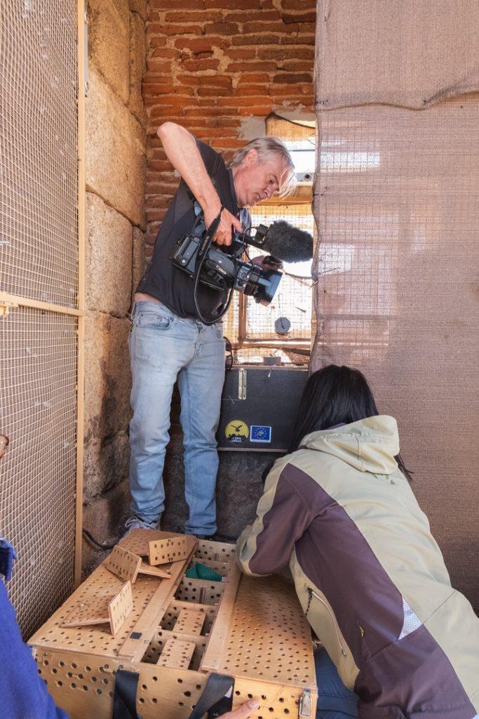 Grabación para documental de los momentos de introducción de los pollitos de cernícalo primilla en el módulo de liberación