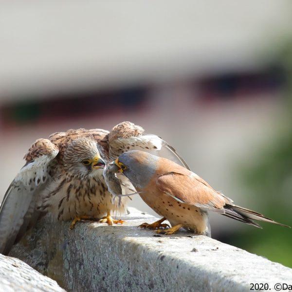 Entrega de un ratón de un macho de cernícalo primilla a una hembra sobre los tejados