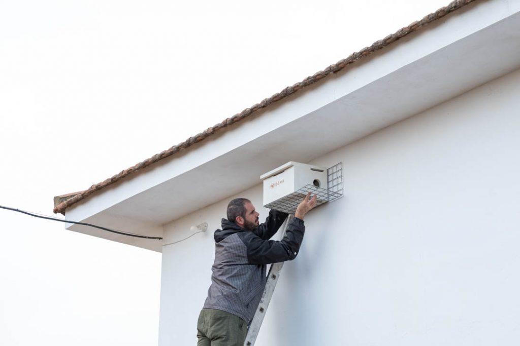 Instalando un nido de cernícalo primilla bajo aleros de un edificio