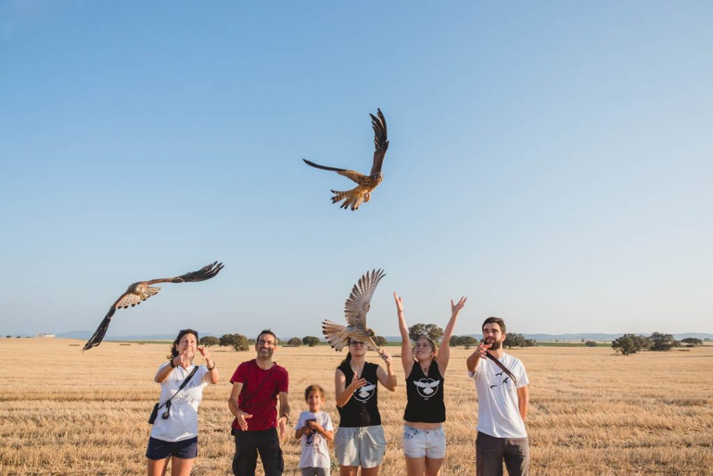 Momento en el que vuelan varios ejemplares de cernícalo primilla tras su liberación