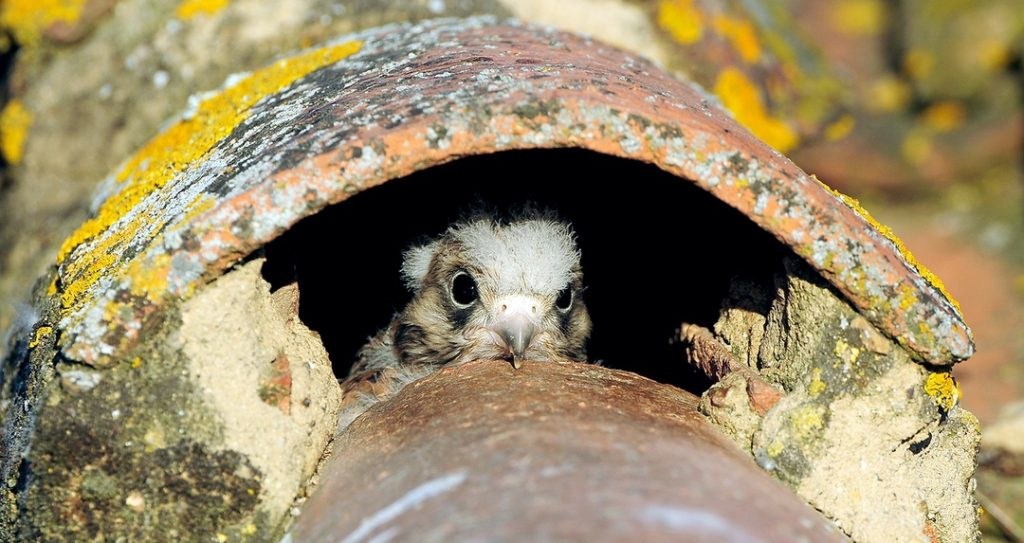 Pollo de cernícalo primilla asoma la cabeza al exterior desde el interior del pasillo bajo la teja de un nido bajo-cubierta