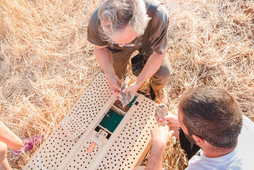 Preparación de los ejemplares de cernícalo primilla a liberar tras su traslado en cajas especiales