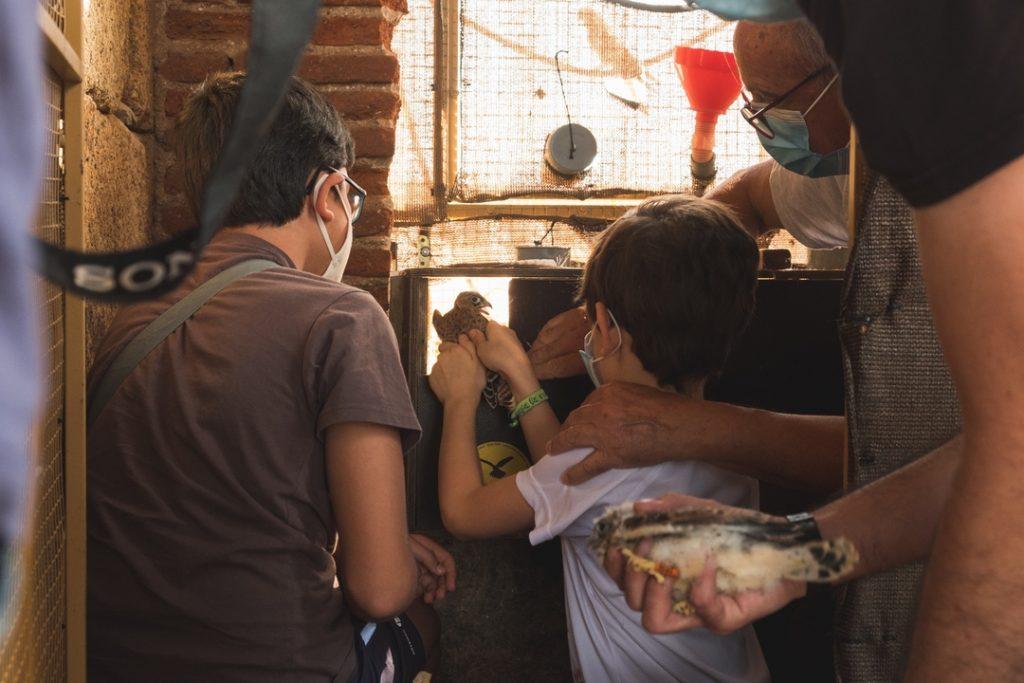 Momento de la puesta en libertad en la caja de liberación de un pollito de cernícalo primilla